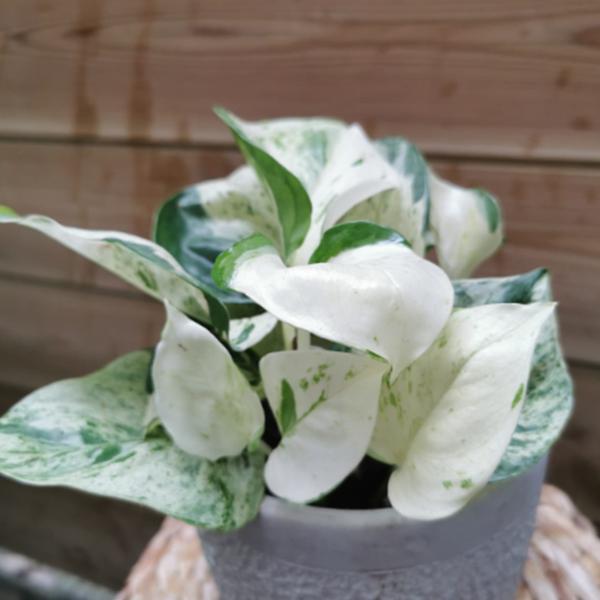 Pothos-la-Maison-des-fleurs-fleuriste