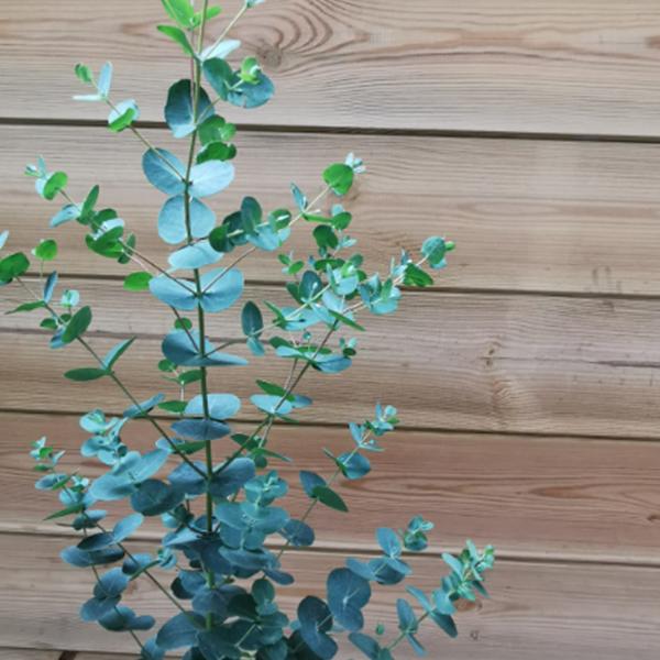 Eucalyptus-La-Maison-des-fleurs-fleuriste-paris