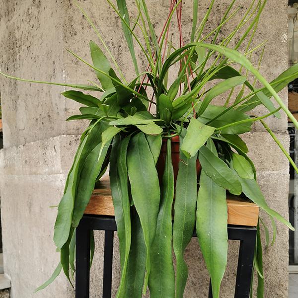 Epiphilium-pumilium-maison-des-fleurs-plante-paris