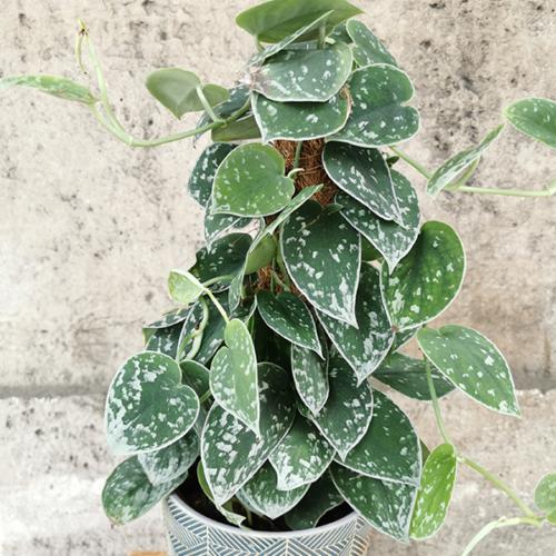 pothosargent-plante-maison-des-fleurs-paris